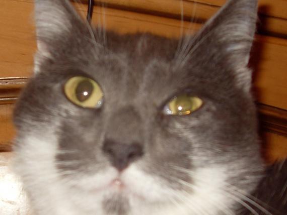maladie conjonctivite du chat