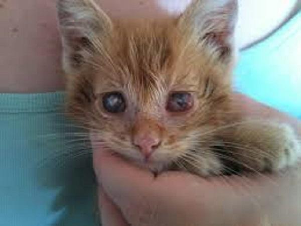 maladie coryza du chat