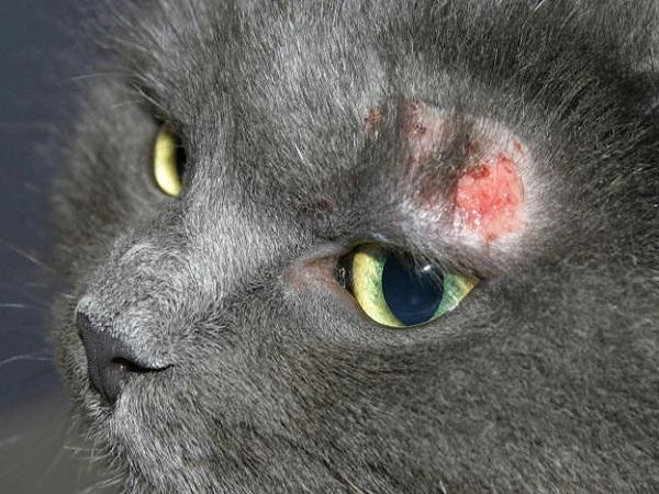 maladie dermatite du chat