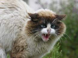 Hyperthyroïdie chat