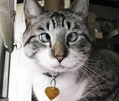 Strabisme yeux chat