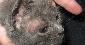 parasite teigne du chat